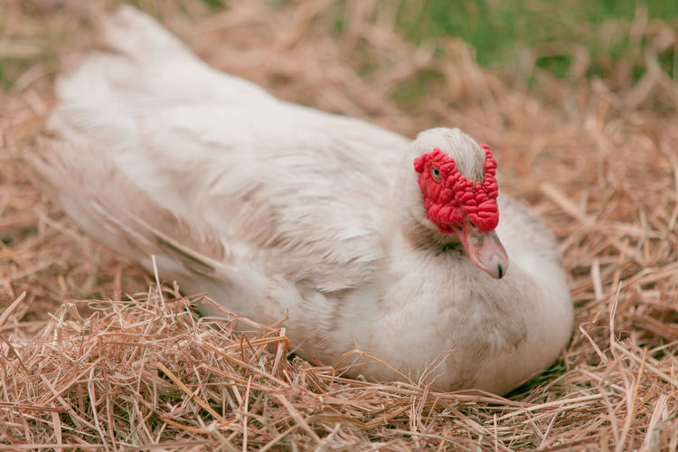 Close-up of muscovy duck resting in nest