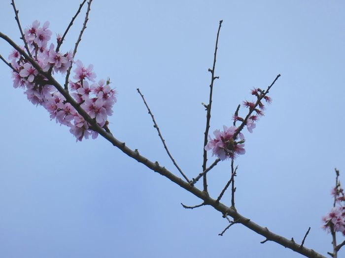 Blossoms reaching for the sky EyeEm Selects Sky Tree Flowering Plant Flower Branch Plant Low Angle View Growth Freshness Nature Clear Sky Vulnerability  Fragility Beauty In Nature Pink Color Springtime Blossom Day Twig No People