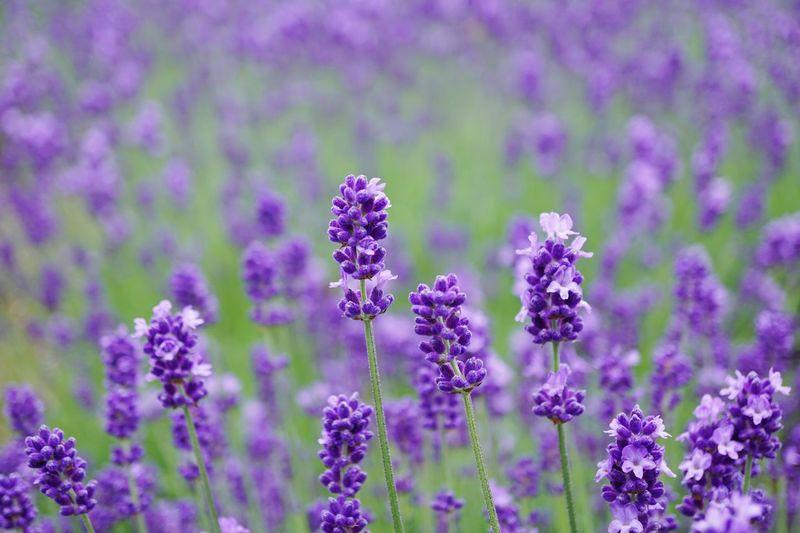 Purple Flower Flower Plant Purple Freshness Fragility Field Petal Nature Lavender Lavender Colored No People