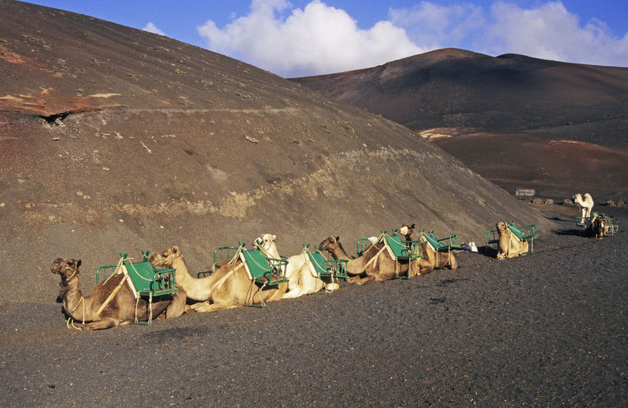 camels crouched in Timanfaya National Park Lanzarote Canary Islands Spain Canary Islands Crouching In A Row Lanzarote National Park Timanfaya Tourist Attraction  Animal Themes Animals Arid Climate Camels Desert Dromedary Film Photography Mountain Nature No People Outdoors Resting Transportation Travel Destinations Volcanic Landscape