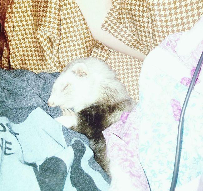 Ferret Love Snuggles Furbaby