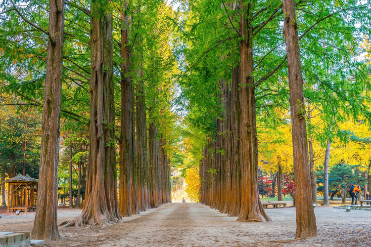 Row of green trees in Nami Island, Korea. Bamboo - Plant Beauty In Nature Day Diminishing Perspective Direction Footpath Forest Growth In A Row Land Nature No People Outdoors Plant Road Scenics - Nature The Way Forward Tranquil Scene Tranquility Tree Tree Canopy  Tree Trunk Treelined Trunk WoodLand