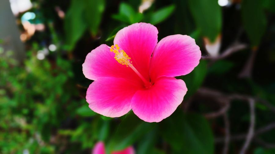 Chaba flower Flower Head Flower Pink Color Petal Hibiscus Close-up Plant