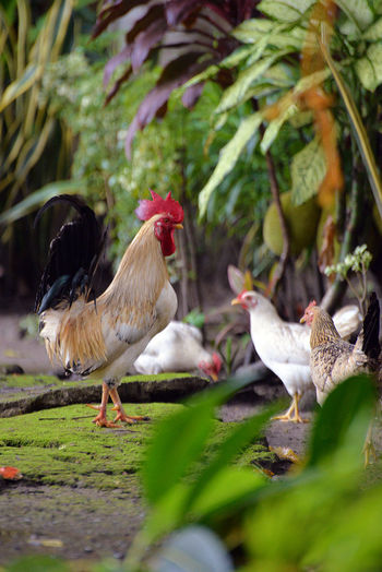 Animal Themes Bantam Bantams Bird Chicken Chickens Cockerel Day Eyeem Philippines No People Outdoors Poultry Poultry Farming Rooster