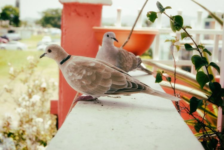 Eurasian collared doves on retaining wall