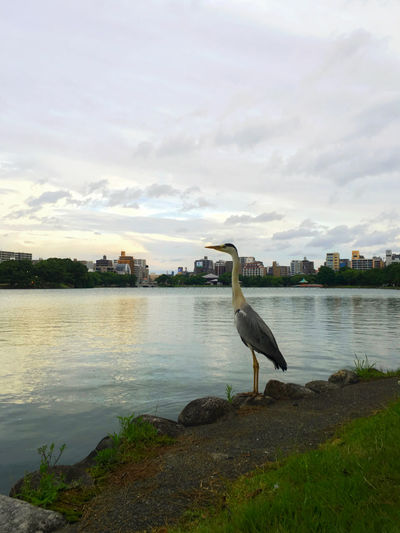 High angle view of gray heron perching by lake against sky
