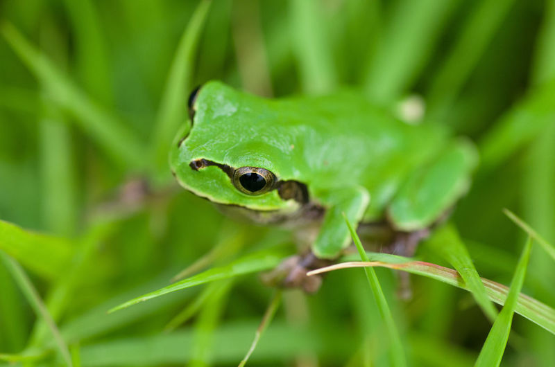 Green Color Frog Outdoors Leaf Close-up Plant Reptile Amphibia Tree Frog Green Frog Animal Eye Nature One Animal Selective Focus No People