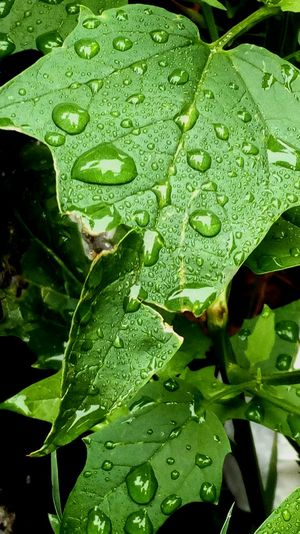 Drop Green Color Leaf Wet Close-up Nature Rain RainDrop Dew Plant Part Beauty In Nature High Angle View
