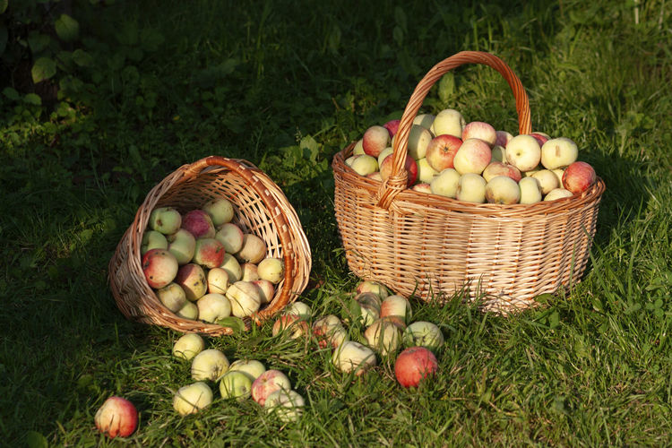 Ripe organic apples grown in a private orchard