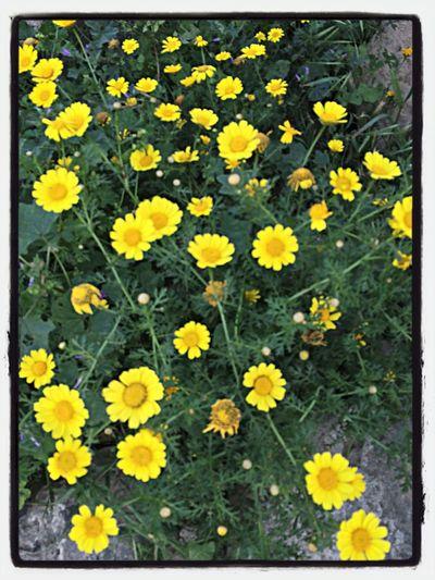Flowers daisy çiçek papatya