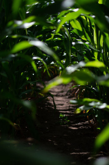 Low down view through Maze field with dark shaddow Dark Beauty In Nature Beginnings Close-up Day Field Green Color Growth Land Leaf Leaves Nature No People Outdoors Plant Plant Part Selective Focus Shaddow Sunlight Tranquility Tree Water