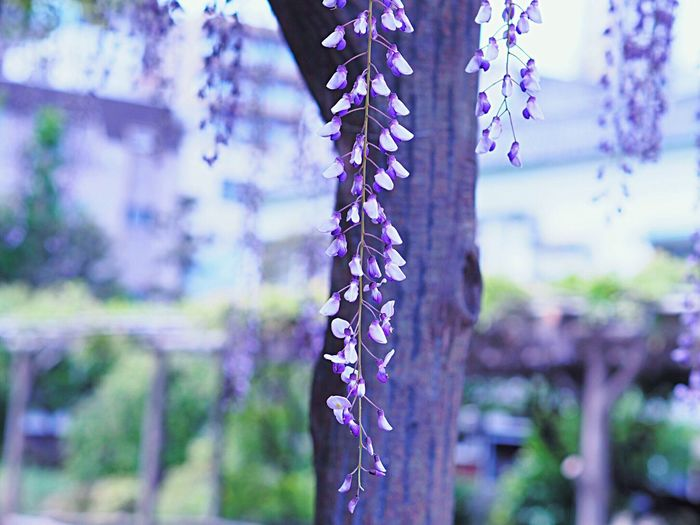 Flower Nature Beauty In Nature Growth Freshness Purple Flower Spring Flowers Wisteria Flowers Wisteria 藤の花 Blooming Springtime Purple Japanese Garden Japanese Photography Japanese Landscape Kameido Tenjin 亀戸天神 Tokyo,Japan Olympus Om-d E-m10