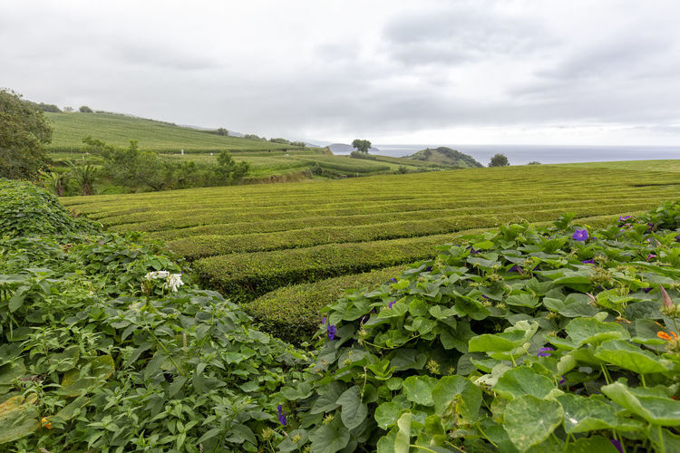 Flowers on the edge of massive rows of tea near Sao Bras on Sao Miguel in the Azores. São Brás São Brás Cha Gorreana Portugal Azores Sao Miguel Tea Green Black Production Factory Industry Rows Atlantic Europe Cha Gorreana Organic Leaf Agriculture Island Tourism Drink No People