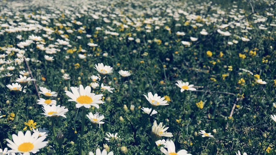 #spain #spain #Turkey Uk الأردن United States Flower Flowering Plant Freshness Plant Beauty In Nature Fragility Vulnerability  Close-up White Color Inflorescence Daisy No People Yellow Flower Head Petal Growth Field Land Nature Day