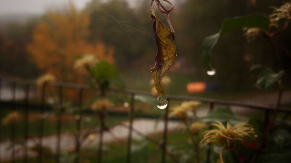 Rainy Day 🍂🍁🍂.... Beauty In Nature Nature Close-up Plant Fragility Outdoors LovetheSimpleThings Nature Photography Nature_collection EyeEm Nature Lover From My Point Of View Enjoying Life Taking Photos of Nature Hello World Good Morning my Friends Loveyourlife