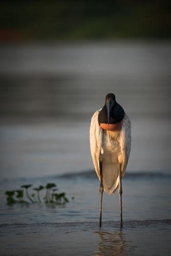 Jabiru stork perching in water