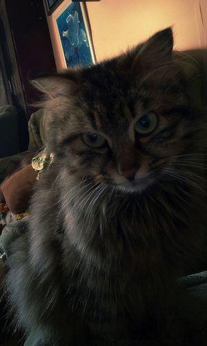 Кот... Pets Feline Domestic Cat Portrait Yellow Eyes Looking At Camera Whisker Alertness Animal Eye Close-up
