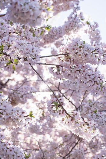 Flowers Flowering Plant Flower Fragility Plant Blossom Vulnerability  Beauty In Nature Freshness Growth Springtime Tree Nature Cherry Blossom Close-up Inflorescence Tranquility Day Pink Color No People Branch
