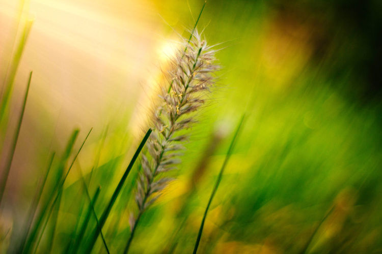 Plant Growth Nature Green Color No People Beauty In Nature Close-up Selective Focus Land Agriculture Field Tranquility Grass Cereal Plant Crop  Day Sunlight Freshness Outdoors Wheat Stalk