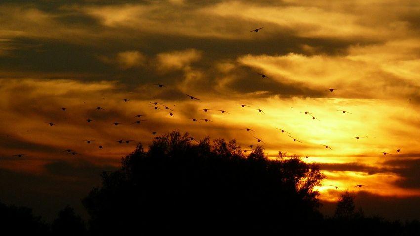 starlings Starlings Spreeuwen Bird Bird Of Prey Flying Tree Sunset Vulture Flock Of Birds Silhouette Mid-air Motion