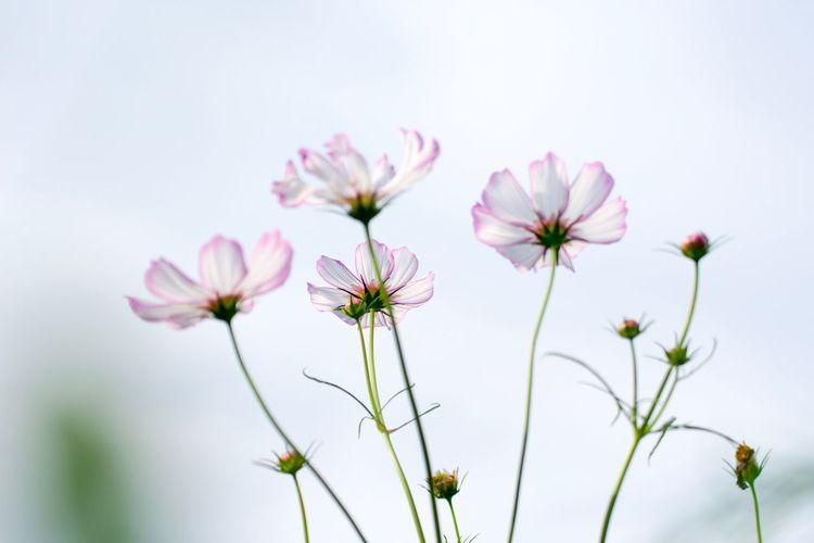 EyeEm Selects Flower Beauty In Nature Nature No People Fragility Growth Petal Flower Head Freshness Plant Day Close-up Outdoors Cosmos Flower Blooming EyeEm Nature Lover EyeEm Best Shots - Nature EyeEm Flower EyeEm Best Shots Week On Eyeem 巾着田曼珠沙華公園