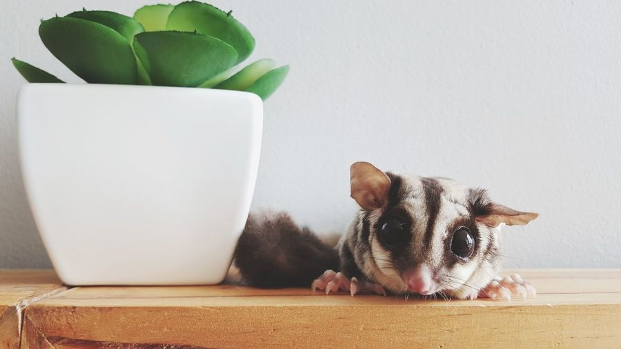 EyeEm Selects Pet Portraits Little Small Sugar Glider Young Animal Mammal Domestic Animals One Animal Soft Pets Close-up Cute Animal Indoors  Big Eyes Fresh On Market 2017