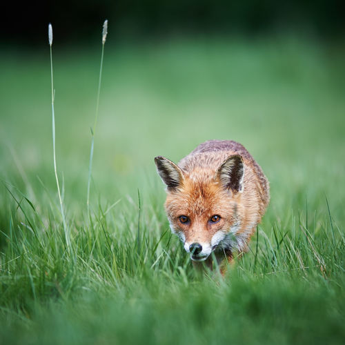 Focus On Foreground Fox Grass Nature Nature Nature Photography Nature_collection Outdoors Selective Focus