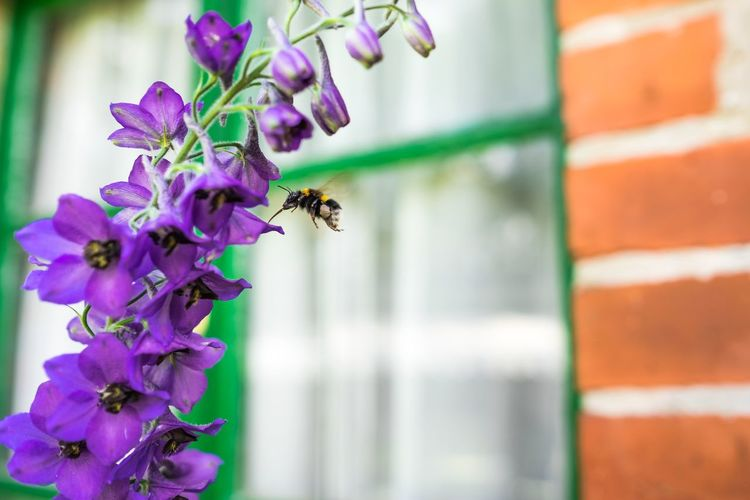 Close-Up Of Bumblebee Hovering By Purple Flowers