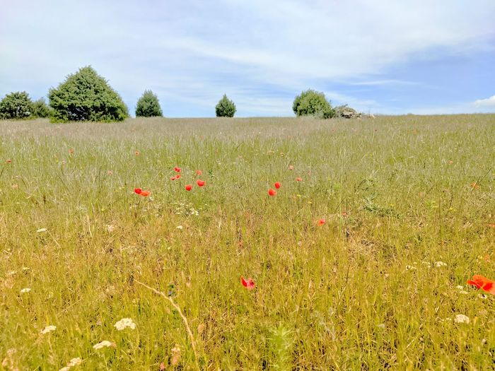 Scenic view of poppy field against sky