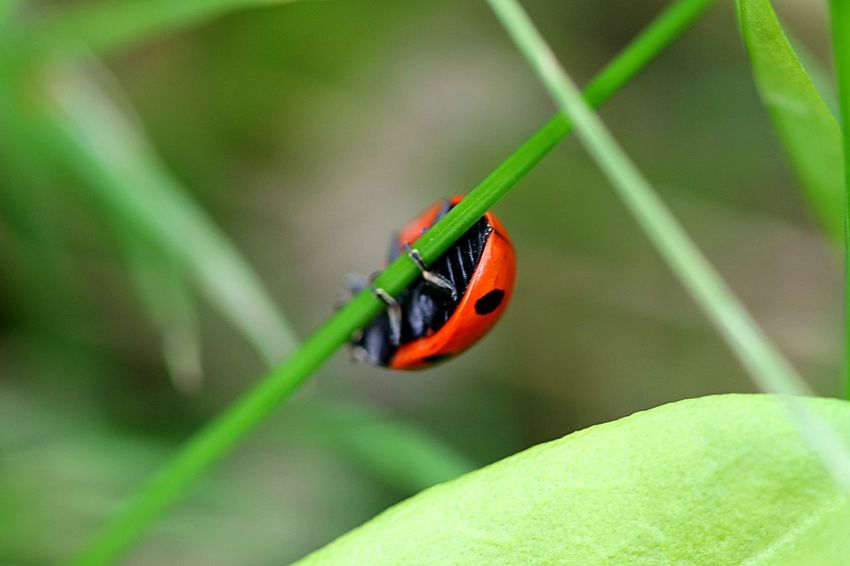 Insect Animal Themes Animal Animal Wildlife Animals In The Wild One Animal Close-up Ladybug No People Outdoors Day Nature Leaf Focus On Foreground Beetle Plant Part Plant Green Color Red