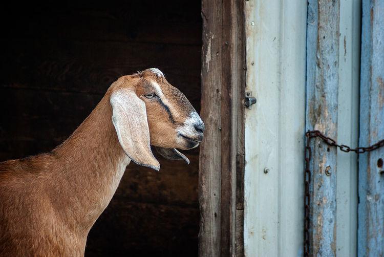 Close-up of goat at barn