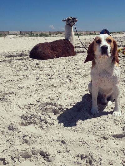 Pets Dog Outdoors Sand Day One Animal Beach No People Animal Themes Beagle лазурное бигль The Week On EyeEm Been There.
