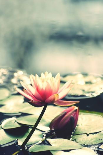 Flower Nature Beauty In Nature Fragility Water Freshness Petal Lake No People Day Water Lily Flower Head Growth Outdoors Lotus Water Lily Close-up Sky I Want To Know Your Secret, C I Always Thinking About U, G Thank You,❤️ 감사합니다 EyeEm Selects