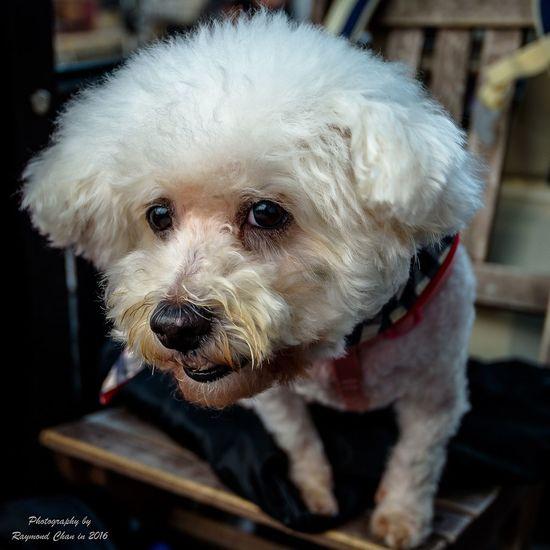 Dog Pets Portrait Close-up HongKong