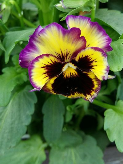A Beautiful Close-up of a Yellow Purple and Burgandy Pansy with its Bright Green Leaves . Featuring Flower Petal Beauty In Nature Nature Plant Fragility Flower Head Freshness Growth Day No People Green Color Outdoors Leaf Blooming Background
