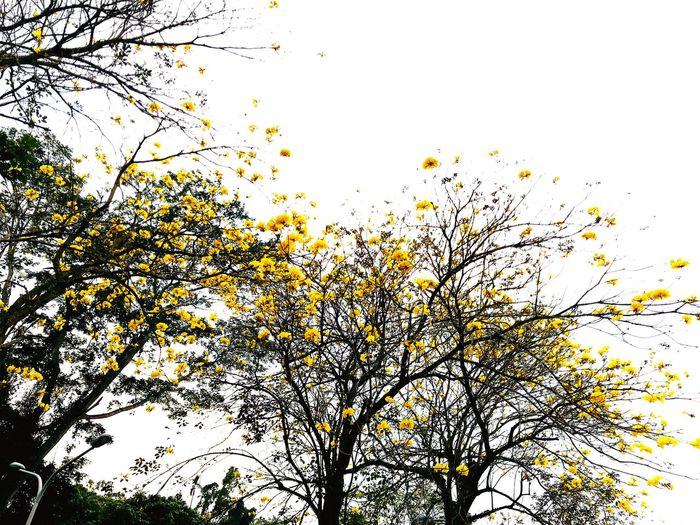 又到了黃金風鈴木的季節了! EyeEm Selects Flying Large Group Of Animals Flock Of Birds Bird Backgrounds Sky Nature Outdoors No People Tree Day