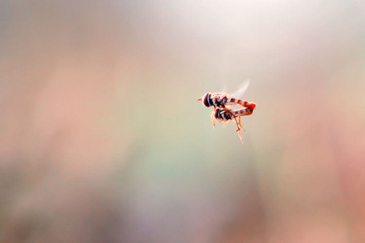 bees mate while flying Animal Animal Themes Animal Wildlife Animals In The Wild Ant Beauty In Nature Close-up Day Fly Flying Focus On Foreground Insect Invertebrate Macro Nature No People One Animal Outdoors Red Selective Focus