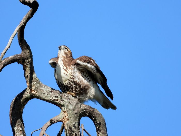Red tail hawk ready for flight