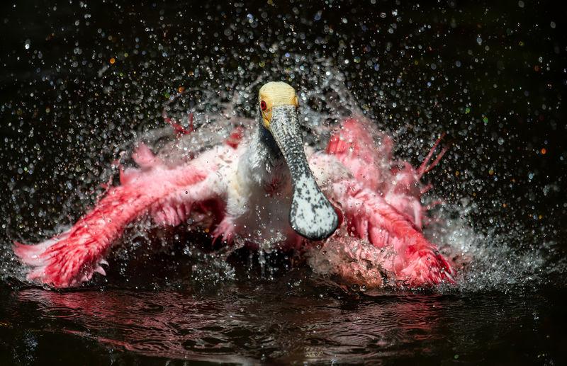 Spoonbill splashing water in lake