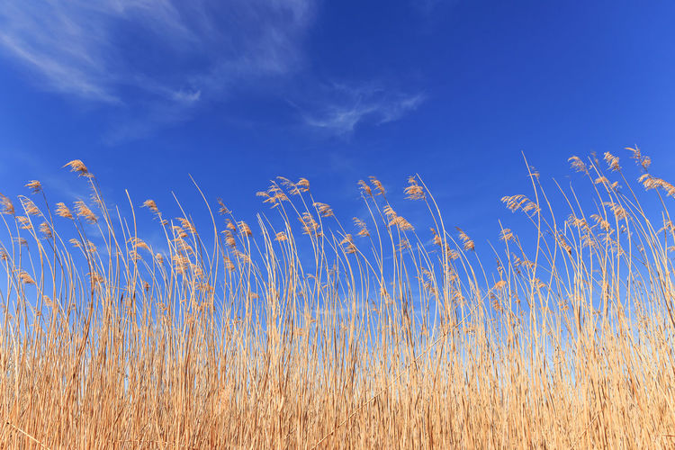 Low angle view of stalks in field against blue sky