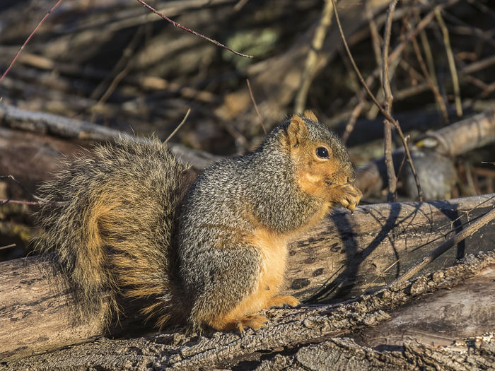 Animal Animal Wildlife Animal Themes Mammal One Animal Rodent Animals In The Wild Squirrel Nature Day Outdoors Tree Sunlight Field Sciuridae Tree Rat Wildlife Furry Brown Gray Grey Creature Fauna Beauty In Nature Cute Adorable WoodLand Forest Nut