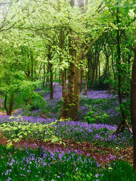 York Ancient Woodland Beauty In Nature Blue Bluebells Carpet Day Flower Flowerbed Green Color Growth Landscape Nature No People Outdoors Plant Purple Scenics Tranquil Scene Tranquility Tree Wentworth Wild Flowers