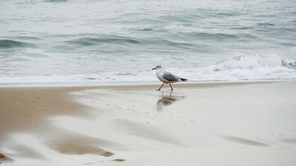 걷다 걷기 (null)Beach Sand Sea Bird One Animal Water Seagull Wave Outdoors Love Gull Waking Wake Photo Foto Busan Heaundea Beach