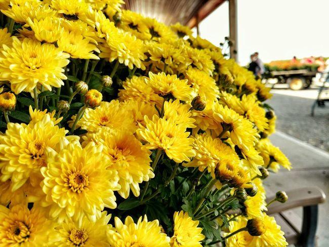 Fall Beauty Chrysanthemum Yellow Fall Flower Huffingtonpost The Week On EyeEm