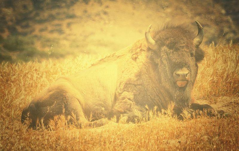 Full Length Of Bison Resting On Field