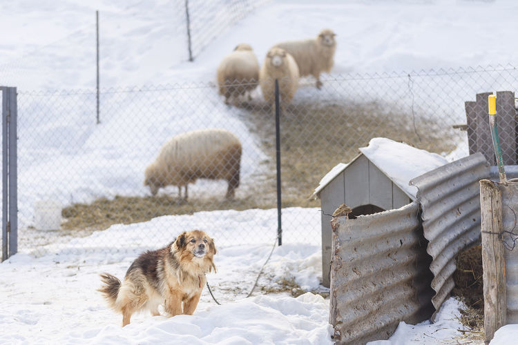 Dog and sheep on snow covered landscape