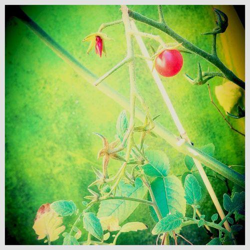 Tomate Balkon Pflanzen Biology Wunderschön Nature Essen Tomaten Wachstum Balkony