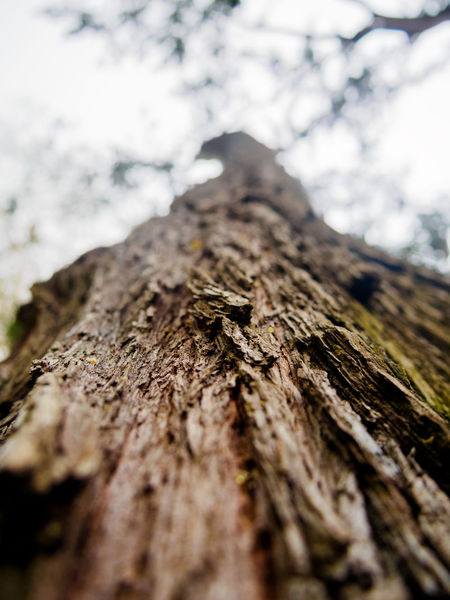 Bark Beauty In Nature Branch Close-up Curraghchase Day Growth Low Angle View Nature No People Outdoors Rough Selective Focus Sky Textured  Tree Tree Trunk Wood - Material Dof
