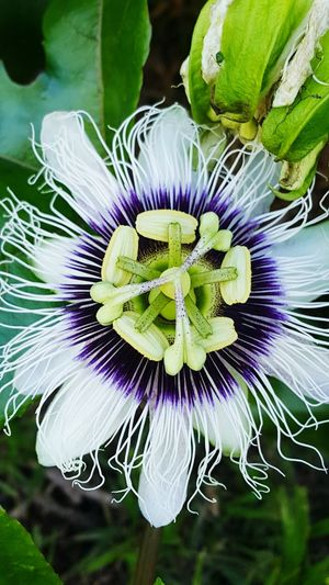 Lilikoi (passion fruit) blossom Lilikoi Flower Passion Flower Hawaii Island 808travel Flower Head Passion Flower Flower Multi Colored Petal Close-up Plant Green Color Purple Botany In Bloom Blooming Blossom