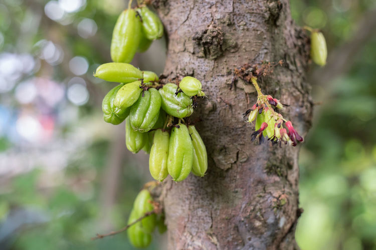 Close-up of fruits growing on tree trunk